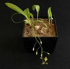 Eriospermum mackenii
