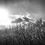 Bucks County Cornfield after Harvest