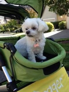 "This photo is of The Dogger on its maiden trek, Molly (Maltese) happily ensconced. I do not know who enjoys The Dogger more, me or Molly.   The Dogger has made for an immensely happy day, indeed. It really is The Best of The Best and will be adding to many happy times that Molly and I share.""   Karen Jaggar, Portland, OR #maltese #dogger"