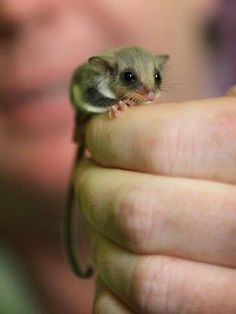 feather tail glider... a close cousin to my own sugar gliders!