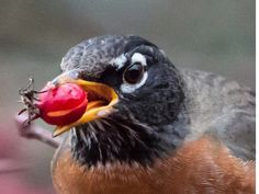 American Robin with berry in its mouth
