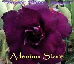 New Adenium 'Triple Black Forest' 5 Seeds