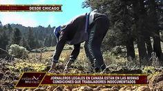 PRECARIAS CONDICIONES LABORALES DE JORNALEROS MEXICANOS EN CANADÁ