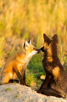 Red Fox Cubs by Stephen M. Fochuk