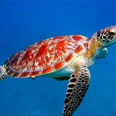 Beautiful Hawksbill turtle!