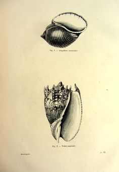 Antique seashells print 1860 amazing original by LyraNebulaPrints, $24.95