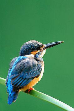 **Kingfisher