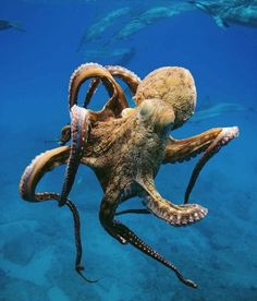 "Aloe-Malo : apolonisaphrodisia: "" Beautiful pics of Octopus Ocean Preservation "" Underwater Creatures, Underwater World, Underwater Photography, Animal Photography, Octopus Photography, Timbuktu Mali, Art Sport, Ocean Tattoos, African Tribes"