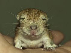 Little Gerbil