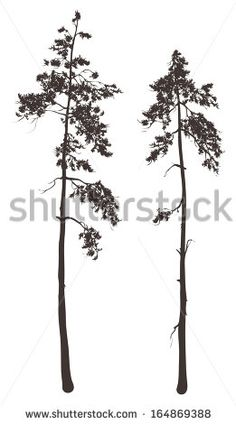 silhouettes of two tall pine trees on a white background, vector illustration
