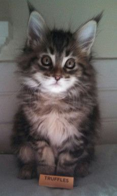 maine coon kittens in sacramento