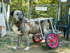 Tuzik hails from St. Petersburg, Russia. He was brought to the U.S. after being struck by a car. Here's a video of his arrival in the U.S.  http://rt.com/usa/news/disabled-dog-finds-home/    Credit: Pets with Disabilities
