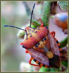 http://magicalnaturetour.tumblr.com/post/17613120182  Carpocoris purpureipennis   via   http://rhamphotheca.tumblr.com/