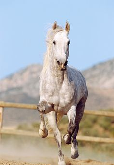 Front view of horse running white horse run gallop front in dust hor 01 ss0006 01 dapple gray andalusian horse galloping in arena by fence kimballstock sciox Choice Image