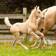 Palomino Akhal-Teke Colt Cantering Close to its Mother. Majestic Horse, Beautiful Horses, Animals Beautiful, Akhal Teke Horses, Baby Horses, Horse Trailers, Horse Sculpture, Horses For Sale, Palomino