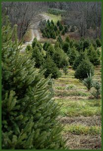Holiday Farm. Cut your own tree