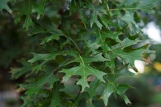 What are these brown spots on my Red Oak leaves? - Sugar and Sap Red Oak Leaf, Oak Leaves, Yellow Leaves, Tree Leaves, Plant Leaves, Deciduous Trees, Trees And Shrubs, Trees To Plant, Tree Leaf Identification