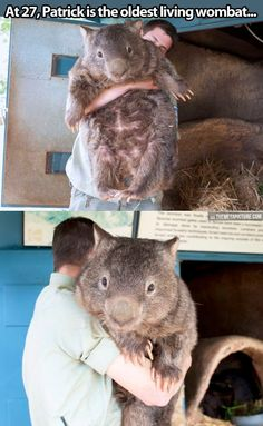 Oldest and biggest wombat on earth…  So adorable!  He would make a great snuggie buddy!