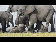 Cute little baby Elephants enjoy a quick bath.🤣🤣 Group Of Elephants, Herd Of Elephants, Cute Little Baby, Little Babies, All Things Wild, Asian Elephant, Kruger National Park, Wildlife Conservation, Zebras