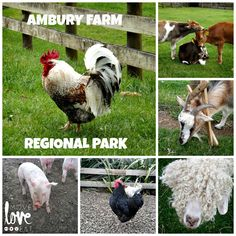 Ambury Farm Regional Park - Working Farm where you can pet the #cute animals! South Auckland, New Zealand
