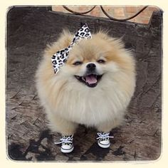 This baby, who is more stylish than you. | Community Post: 23 Pomeranians Who Want To Cheer You Up