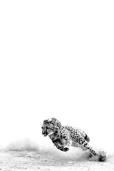 Amazing photograph of a cheetah running in black and white. Such a majestic creature