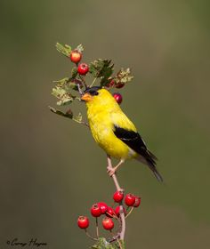 American Goldfinch | @ Corey Hayers