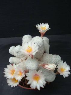 Mammillaria herrerae ssp. albiflor