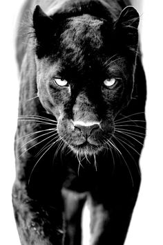 REDFINITY™ — ♦️A black panther is the melanistic color variant of any Panthera species. Black panthers in Asia and Africa are leopards (Panthera pardus) and black panthers in the Americas are black jaguars (Panthera Panther Tattoos, Black Panther Tattoo, Tattoos Skull, Beautiful Cats, Animals Beautiful, Black Animals, Cute Animals, Puma Animal Black, Unique Animal Tattoos