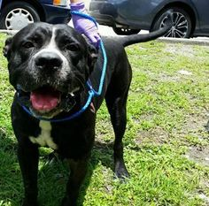 Extremely Sweet, Injured American Bulldog, 1696546, Needs Rescue ASAP!!! This sweet guy has lots of personality, but also has extensive injuries. He needs rescue ASAP for radiographs to further assess the injuries and to develop a treatment plan. TROY (A1696546) I am a male black and white American Bulldog mix. Miami Dade County Animal Services. https://www.facebook.com/urgentdogsofmiami/photos/pb.191859757515102.-2207520000.1431278605./974496939251376/?type=3&theater