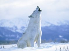 arctic wolf | Pics, Images, Photos and Pictures of Arctic Wolf : Arctic Wolf, Arctic Animals, Nature Animals, Cute Animals, Arctic Tundra, Wildlife Nature, Arktischer Wolf, Wolf Love, Wolf Howling