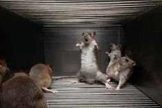 It's a rat rumble in cell block 5.