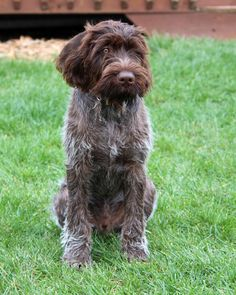 Desktop wallpapers Sitting German Wirehaired Pointer dog - photos in high quality and resolution Pointer Puppies, Pointer Dog, Best Dog Breeds, Best Dogs, Dog Photos, Dog Pictures, I Love Dogs, Cute Dogs, German Wirehaired Pointer
