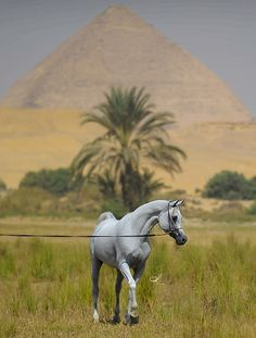 ANSATA ALMURTAJIZ by Khaled AlMutairi, via Flickr ~ Ansata horses are ALWAYS breathtaking Beauties!!