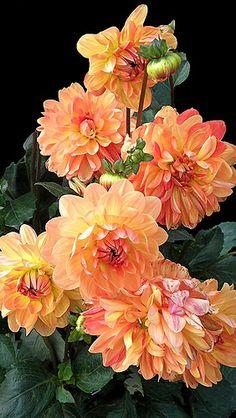 Lovely Apricot Dahlias