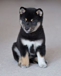 puppies shiba inu | Amazing Black Shiba Inu Puppies | All Puppies Pictures and Wallpapers