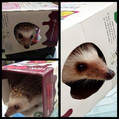 Tom sent us these pictures of his African Pygmy hedgehog, Flynn. Once, when let out of his cage for a bit of exercise, Flynn became rather attached to an empty innocent box. He likes to poke his nose out of the viewing window most and watch the world go by.