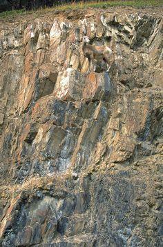 Resultados da Pesquisa de imagens do Google para http://conservationreport.files.wordpress.com/2009/05/mountain-goat.jpg