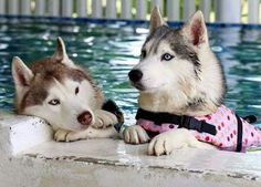 Wonderful All About The Siberian Husky Ideas. Prodigious All About The Siberian Husky Ideas. I Love Dogs, Cute Dogs, Cute Puppies, Baby Animals, Cute Animals, Sweet Dogs, Best Dog Toys, Best Dog Training, Snow Dogs