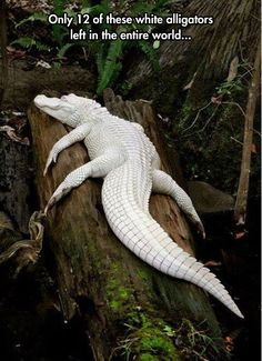 Amazing Albino Alligator - It's not an albino. Albinos have pink eyes. This is a leucistic, with blue eyes.