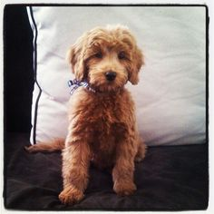 #goldendoodle Our mini goldendoodle Reggie is 5 months old here. Get yours today! http://coppercanyondoodles.wix.com/coppercanyondoodles