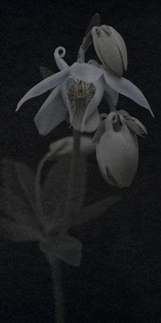 "Flowers in Neutral Moment-2015 "" Aquilegia "" Archival pigment print Printed on cotton rag fine art paper Photo by Soichi Oshika"