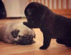 pug pugs Puglife pug dog pugsnotdrugs pug face Pug cute pug pug pug pugdomination