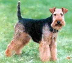 welsh terrier - Google Search