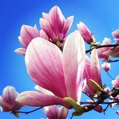 Pretty Pink Magnolia Flowers