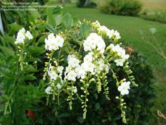 View picture of Golden Dew Drop, White Sky Flower, Pigeon Berry 'Alba' (Duranta erecta) at Dave's Garden.  All pictures are contributed by our community.
