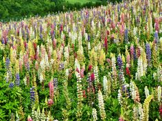 Biei in Hokkaido is more well known for its sunflowers at its flowers farm. However, colourful lupins were the flowers that captured my attention. It's a floral haven up at Biei in summer!