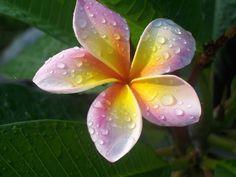 Frangipani - my favourite flower. Reminds me of Hawaii