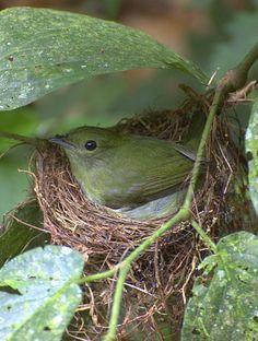 El saltarín barbiblanco (Manacus manacus) La hembra construye un nido en forma de cuenco poco profundo en las ramas de los árboles, pone dos huevos blancos o marrón moteado, y únicamente la hembra los incuba  durante unos 18 a 19 días. y los polluelos se mantendrán en el nido 13 a 15 días más. Los polluelos son alimentados principalmente de frutos regurgitados con algunos insectos.