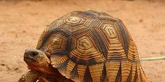 The Angonoka Tortoise is one one of the rarest land tortoises in the world. It is endemic to Madagascar... (400 signatures on petition)